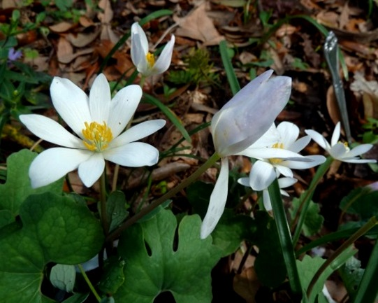 Birdsong nature center old timey plants rue anemone is a very sweet and delicate little plant with pretty white flowers and it mightylinksfo