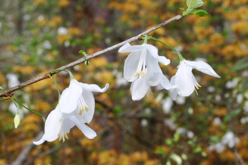 Birdsong nature center old timey plants to be a little on the gaudy side another small tree the silverbell halesia diptera is elegantly graceful its delicate silvery bell shaped flowers mightylinksfo
