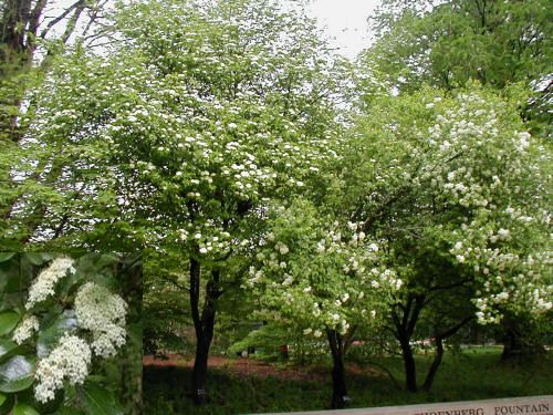 viburnum black dating site Alistair black asks  we moved into a brand new house on an existing residential site  cotoneaster lactius and or viburnum eve price or photinia.